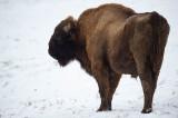 D4S_5125F wisent (Bison bonasus, European bison).jpg