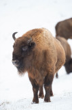 D4S_5247F wisent (Bison bonasus, European bison).jpg
