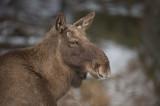 D4S_5446F eland (Alces alces, Moose).jpg