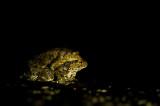 D4S_6639F paddentrek (gewone pad, Bufo budo, Common Toad).jpg