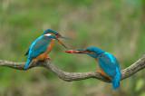D4S_7994F ijsvogel (Alcedo atthis, Kingfisher).jpg