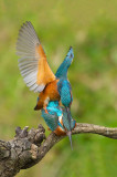 D4S_8519F ijsvogel (Alcedo atthis, Kingfisher).jpg