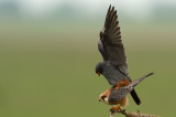 D4S_2825F roodpootvalk (Falco vespertinus, Red-footed Falcon).jpg