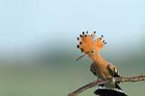 D4S_2327F hop (Upupa epops, Eurasian Hoopoe).jpg