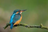 D4S_8136F ijsvogel (Alcedo atthis, Kingfisher).jpg
