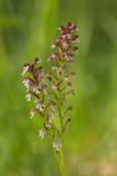 D4S_5826F aangebrande orchis (Neotinea ustulata, Burnt orchid).jpg