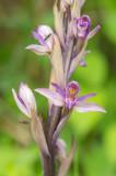 D4S_5952F paarse aspergeorchis (Limodorum abortivum, Violet Limodore).jpg