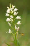 D4S_5257F wit bosvogeltje (Cephalanthera longifolia, Narrow-leaved Helleborine).jpg