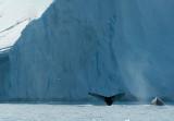 D4S_9681F bultrugwalvis (Megaptera novaeangliae, Humpback whale).jpg