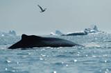 D4S_0308F bultrugwalvis (Megaptera novaeangliae, Humpback whale).jpg