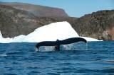 D4S_1504F bultrugwalvis (Megaptera novaeangliae, Humpback whale).jpg