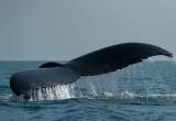 D4S_0604F bultrugwalvis (Megaptera novaeangliae, Humpback whale).jpg