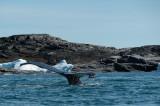 D4S_0296F bultrugwalvis (Megaptera novaeangliae, Humpback whale).jpg