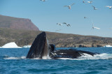 D4S_0667F bultrugwalvis (Megaptera novaeangliae, Humpback whale).jpg