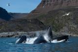D4S_0735F bultrugwalvis (Megaptera novaeangliae, Humpback whale).jpg