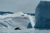 D4S_9858F bultrugwalvis (Megaptera novaeangliae, Humpback whale).jpg