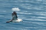 D4S_9982F noordse stormvogel (Fulmarus glacialis, Northern fulmar).jpg