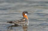 700_8598F grauwe franjepoot (Phalaropus lobatus, Red-necked phalarope).jpg