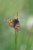 D4S_2550F alpenparelmoervlinder (Melitaea varia, Grisons fritillary).jpg