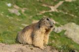 D4S_2149F alpenmarmot (Marmota marmota, Alpine marmot).jpg