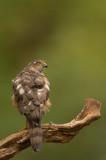 D4S_1937F sperwer (Eurasian Sparrowhawk, Accipiter nisus).jpg