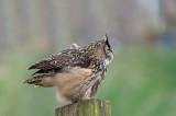 D40_6312F oehoe (Bubo bubo, Eurasian Eagle-Owl).jpg