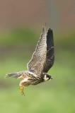 D4S_7111F boomvalk (Falco subbuteo, Eurasian Hobby).jpg
