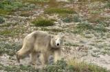 D4S_7708F ijsbeer (Ursus maritimus, Polar bear).jpg