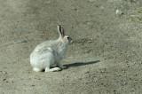 D4S_7774F poolhaas (Lepus arcticus, Arctic hare, Ukaleq qaqortoq).jpg