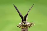 D4S_6784F boomvalk (Falco subbuteo, Eurasian Hobby).jpg