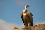 aD4S_5511F vale gier (Gyps fulvus, Griffon Vulture).jpg