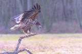 D4S_6966F zeearend (Haliaeetus albicilla, White-tailed sea eagle).jpg