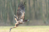 D4S_7000F zeearend (Haliaeetus albicilla, White-tailed sea eagle).jpg
