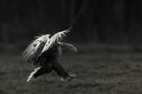 D4S_7483F zeearend (Haliaeetus albicilla, White-tailed sea eagle).jpg