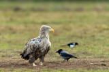 D4S_7608F zeearend (Haliaeetus albicilla, White-tailed sea eagle).jpg