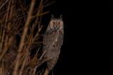 D4S_7829F ransuil (Asio otus, Long-Eared Owl).jpg