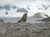 IMG_0339F kerguelenzeebeer (Arctocephalus gazella, Antarctic fur seal).jpg