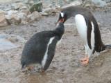 IMG_0444F ezelspinguin (Pygoscelis papua, Gentoo Penguin).jpg