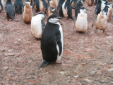 IMG_0192F kinbandpinguin (Pygoscelis antarctica, Chinstrap penguin).jpg