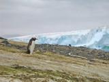 IMG_0350F ezelspinguin (Pygoscelis papua, Gentoo Penguin).jpg