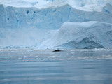 IMG_0457F dwergvinvis (Balaenoptera bonaerensis, Antarctic (or southern) minke whale).jpg