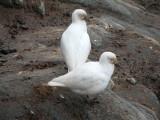 IMG_0618F zuidpoolkip (Chionis albus, Greater sheathbill).jpg