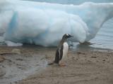 IMG_0415F ezelspinguin (Pygoscelis papua, Gentoo Penguin).jpg