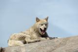 D4S_8122F Groenlandse sledehond (Canis familiaris, Greenlandic sled dog, Qimmeq).jpg