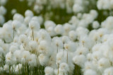 D4S_8208F wollegras (Eriophorum callitrix, Arctic Cottongrass, Ukaliusaq).jpg