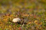 D4S_9282F Arctische boleet (Leccinum rotundifoliae, Arctic Bolethe, Pupinnguaq mamartoq).jpg