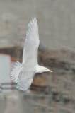 D4S_8559F grote burgemeester (Larus hyperboreus, Glaucous gull).jpg