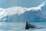 D4S_9520F bultrugwalvis (Megaptera novaeangliae, Humpback whale).jpg