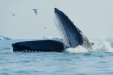 D4S_0378F bultrugwalvis (Megaptera novaeangliae, Humpback whale).jpg