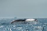 D4S_0508F bultrugwalvis (Megaptera novaeangliae, Humpback whale).jpg